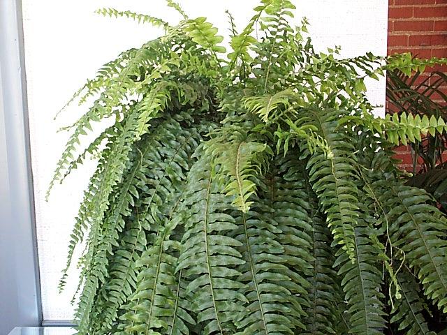 Hanging boston fern